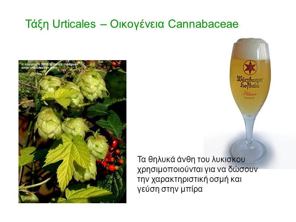 Τάξη Urticales – Οικογένεια Cannabaceae Τα θηλυκά άνθη του λυκισκου χρησιμοποιούνται για να δώσουν την χαρακτηριστική οσμή και γεύση στην μπίρα
