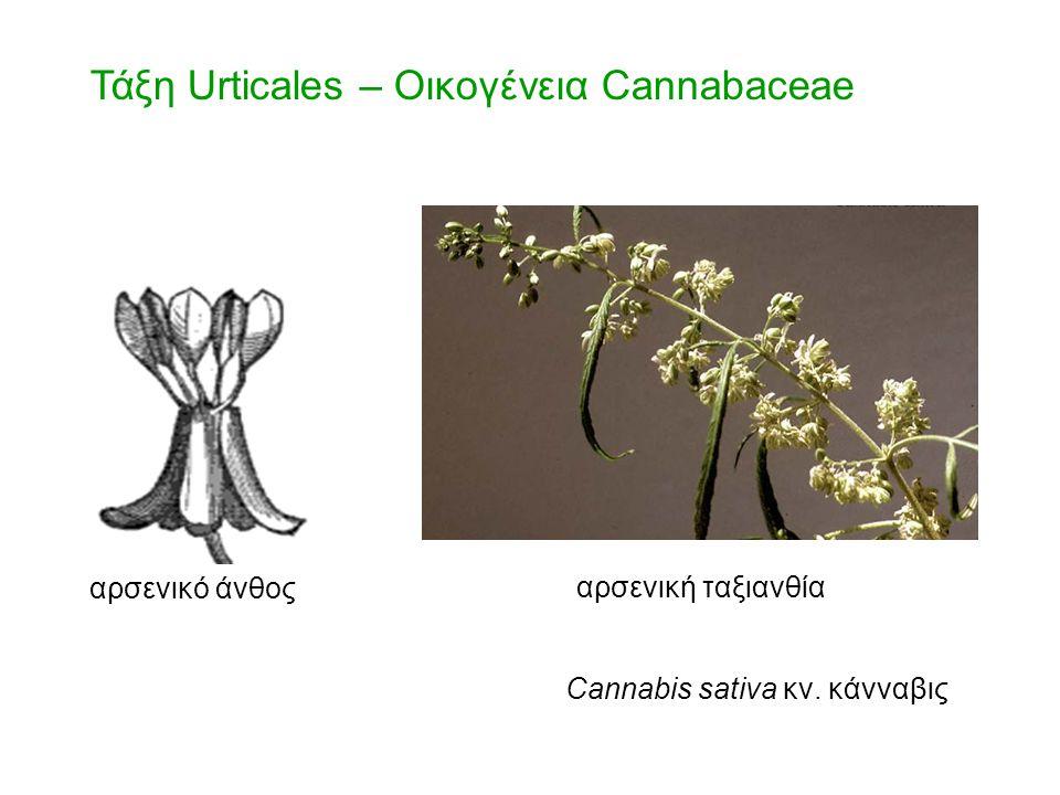 Τάξη Urticales – Οικογένεια Cannabaceae αρσενικό άνθος αρσενική ταξιανθία Cannabis sativa κν. κάνναβις