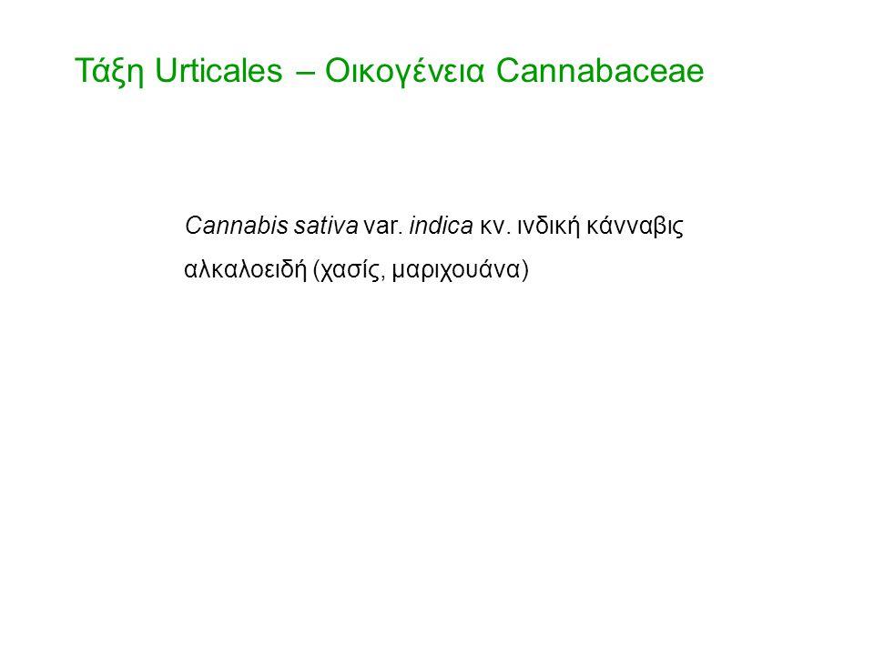 Τάξη Urticales – Οικογένεια Cannabaceae Cannabis sativa var. indica κν. ινδική κάνναβις αλκαλοειδή (χασίς, μαριχουάνα)