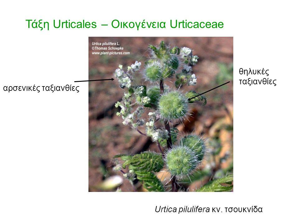 Τάξη Urticales – Οικογένεια Urticaceae αρσενικές ταξιανθίες θηλυκές ταξιανθίες Urtica pilulifera κν. τσουκνίδα
