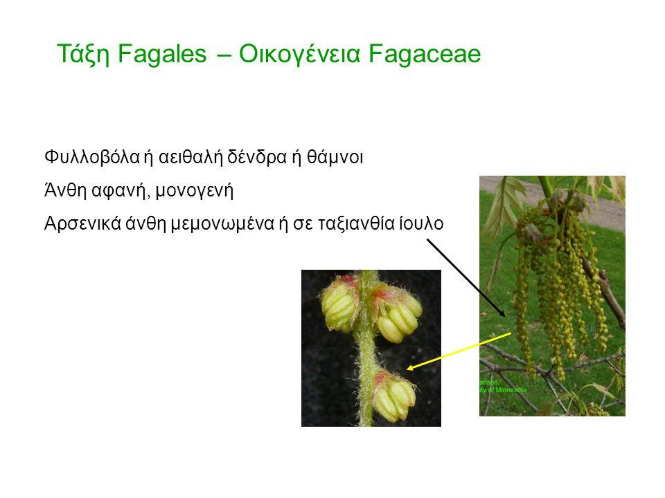 Τάξη Fagales – Οικογένεια Fagaceae Φυλλοβόλα ή αειθαλή δένδρα ή θάμνοι Άνθη αφανή, μονογενή Αρσενικά άνθη μεμονωμένα ή σε ταξιανθία ίουλο