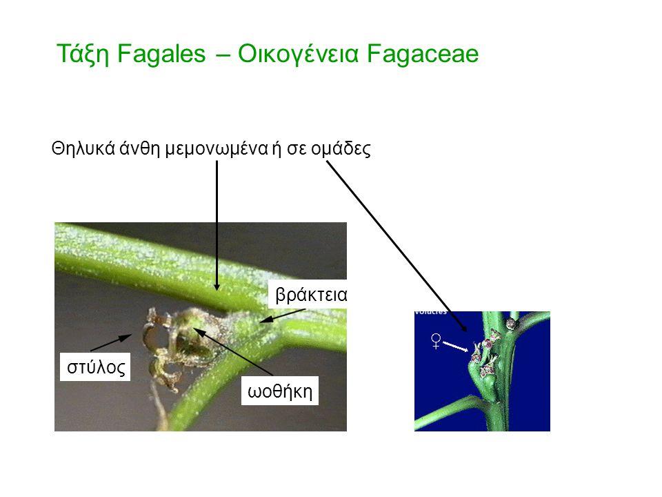 Θηλυκά άνθη μεμονωμένα ή σε ομάδες βράκτεια ωοθήκη στύλος Τάξη Fagales – Οικογένεια Fagaceae