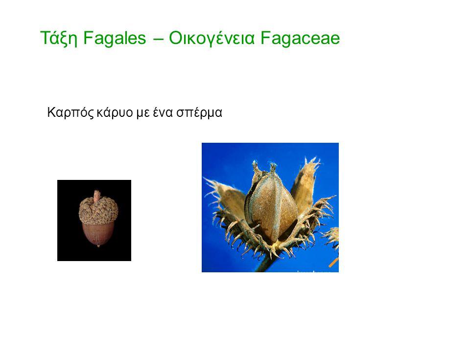 Καρπός κάρυο με ένα σπέρμα Τάξη Fagales – Οικογένεια Fagaceae