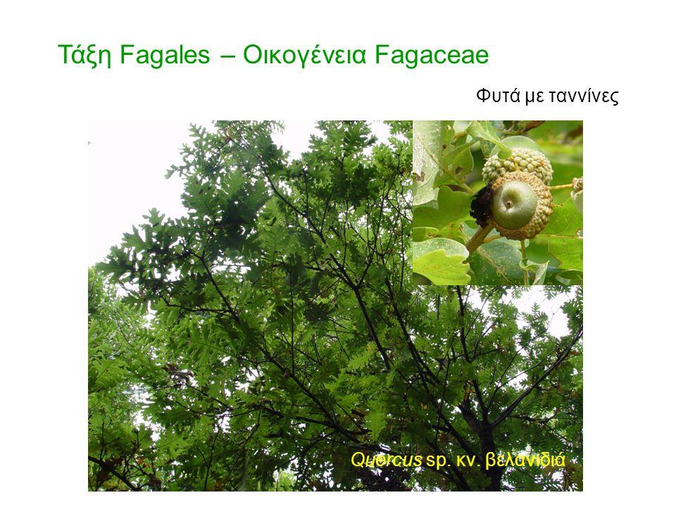 Quercus sp. κν. βελανιδιά Τάξη Fagales – Οικογένεια Fagaceae Φυτά με ταννίνες