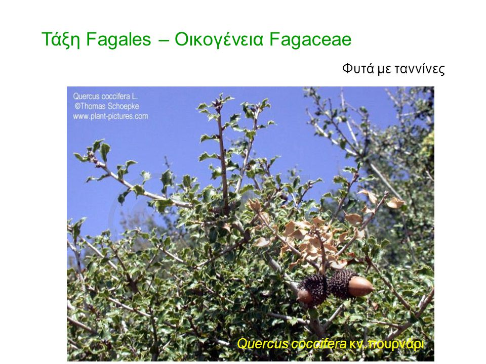Quercus coccifera κν.πουρνάρι ίουλοι Τάξη Fagales – Οικογένεια Fagaceae Φυτά με ταννίνες