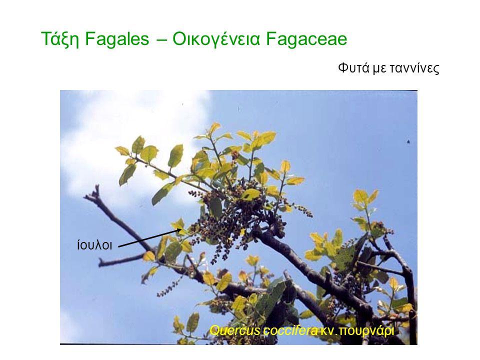 Τάξη Urticales – Οικογένεια Cannabaceae θηλυκή ταξιανθία Cannabis sativa κν. κάνναβις θηλυκό άνθος
