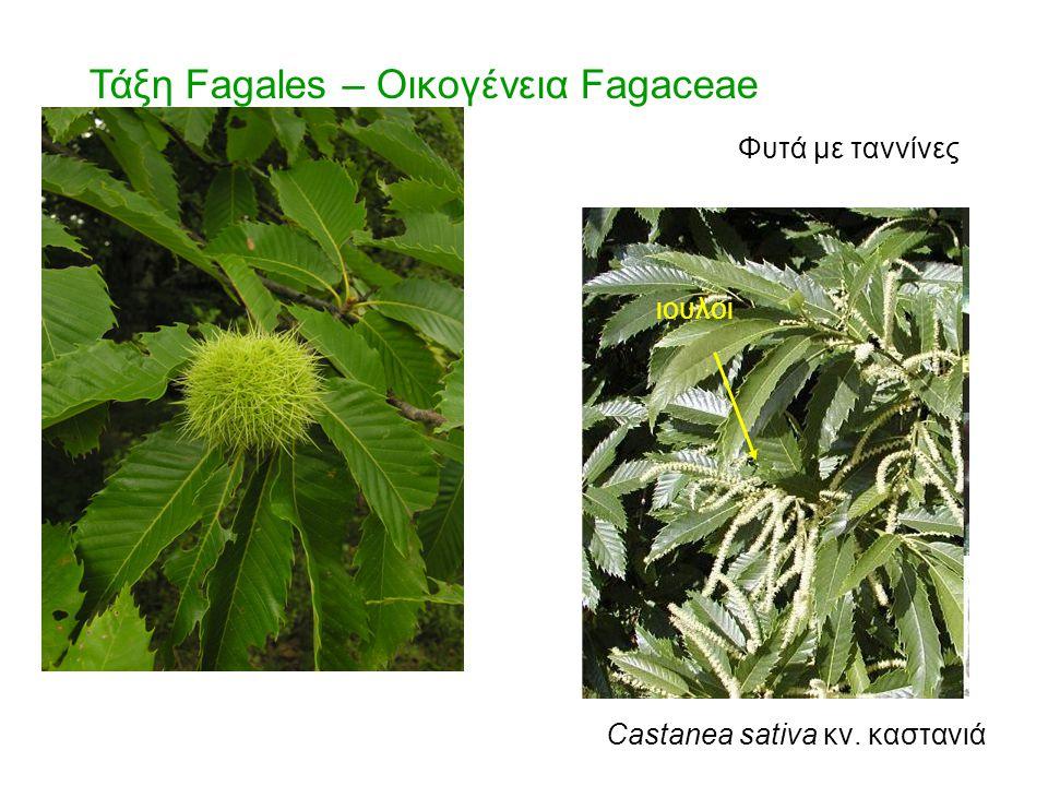 ιουλοι Castanea sativa κν. καστανιά Τάξη Fagales – Οικογένεια Fagaceae Φυτά με ταννίνες