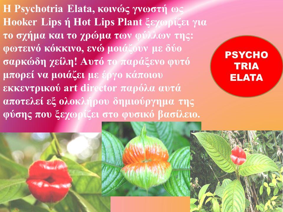 H Psychotria Elata, κοινώς γνωστή ως Hooker Lips ή Hot Lips Plant ξεχωρίζει για το σχήμα και το χρώμα των φύλλων της : φωτεινό κόκκινο, ενώ μοιάζουν μ