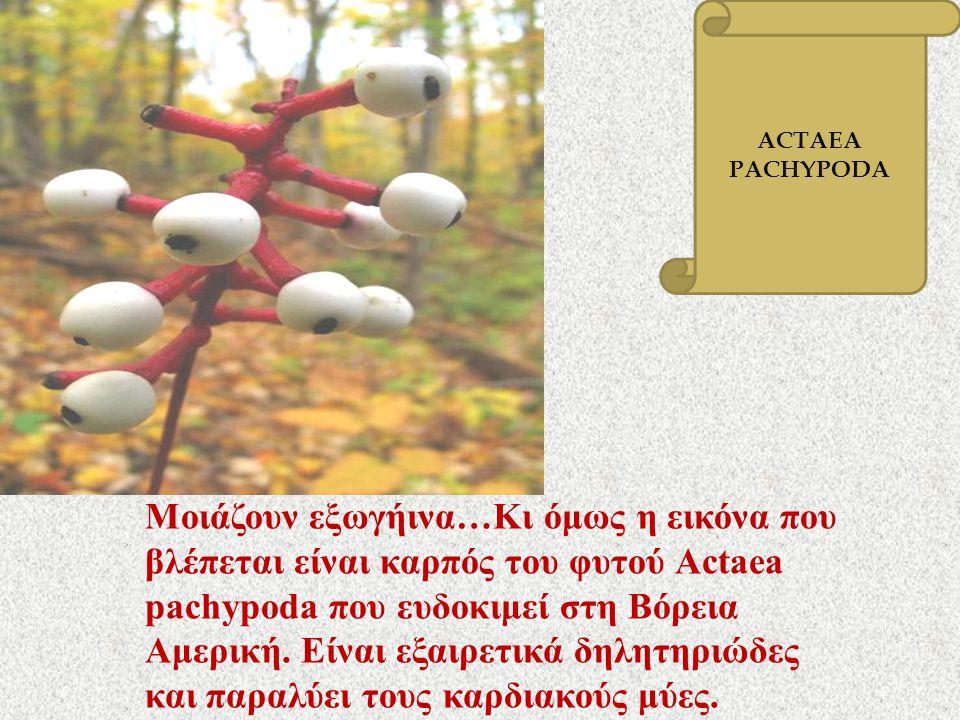 Μοιάζουν εξωγήινα … Κι όμως η εικόνα που βλέπεται είναι καρπός του φυτού Actaea pachypoda που ευδοκιμεί στη Βόρεια Αμερική. Είναι εξαιρετικά δηλητηριώ