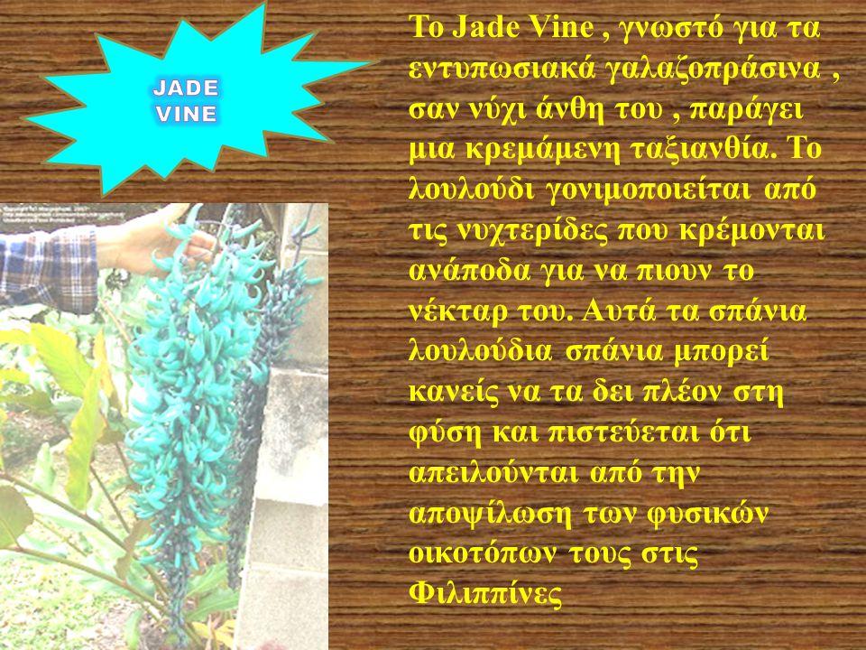 Το Jade Vine, γνωστό για τα εντυπωσιακά γαλαζοπράσινα, σαν νύχι άνθη του, παράγει μια κρεμάμενη ταξιανθία. Το λουλούδι γονιμοποιείται από τις νυχτερίδ