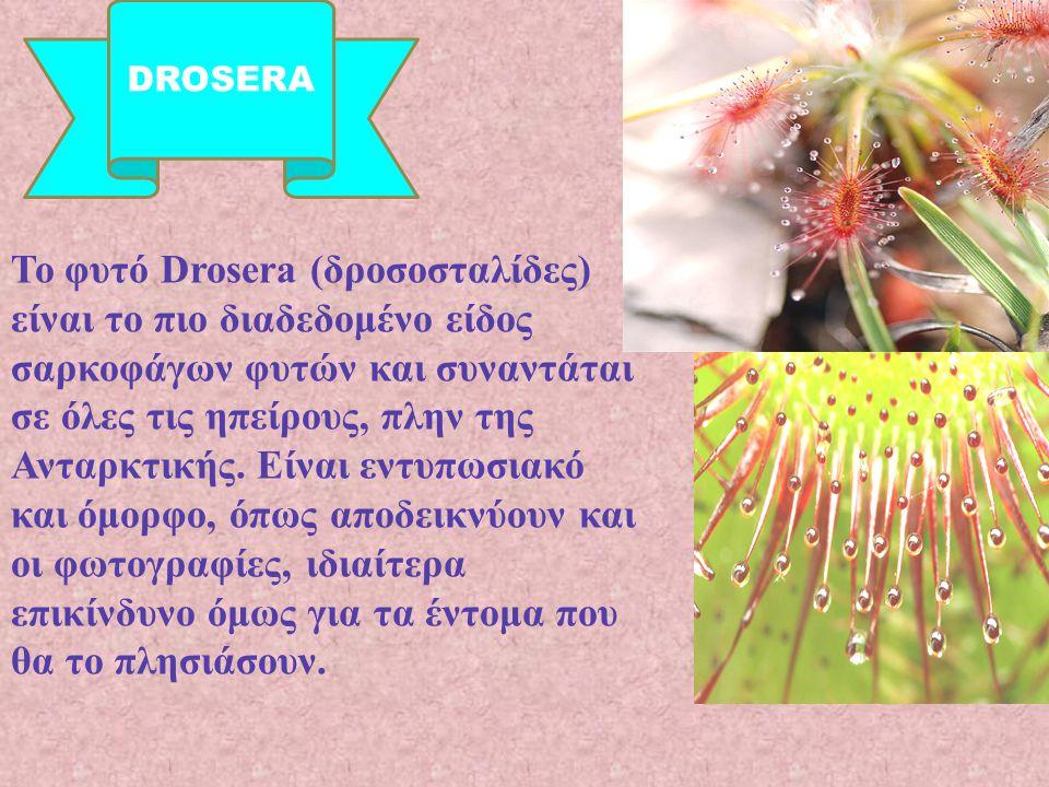 Το φυτό Drosera ( δροσοσταλίδες ) είναι το πιο διαδεδομένο είδος σαρκοφάγων φυτών και συναντάται σε όλες τις ηπείρους, πλην της Ανταρκτικής. Είναι εντ