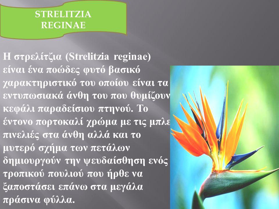 Η στρελίτζια (Strelitzia reginae) είναι ένα ποώδες φυτό βασικό χαρακτηριστικό του οποίου είναι τα εντυπωσιακά άνθη του που θυμίζουν κεφάλι παραδείσιου