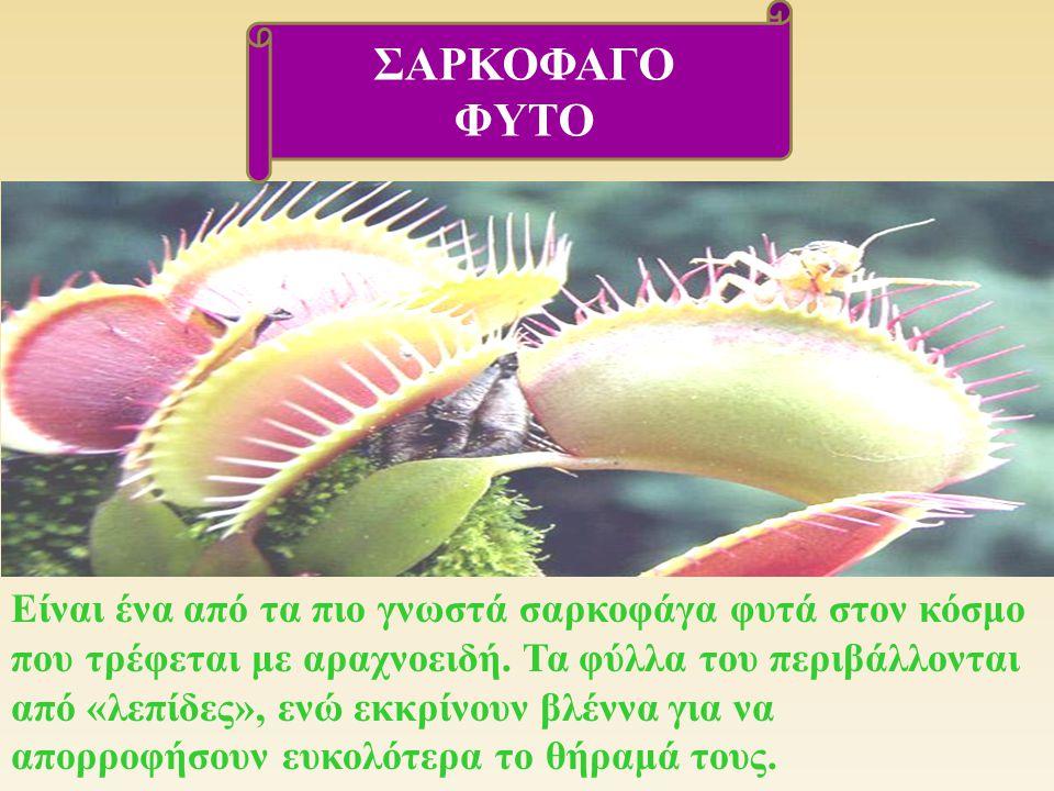 Είναι ένα από τα πιο γνωστά σαρκοφάγα φυτά στον κόσμο που τρέφεται με αραχνοειδή. Τα φύλλα του περιβάλλονται από « λεπίδες », ενώ εκκρίνουν βλέννα για