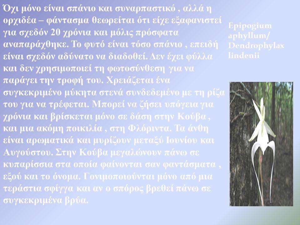 Epipogium aphyllum / Dendrophylax lindenii Όχι μόνο είναι σπάνιο και συναρπαστικό, αλλά η ορχιδέα – φάντασμα θεωρείται ότι είχε εξαφανιστεί για σχεδόν