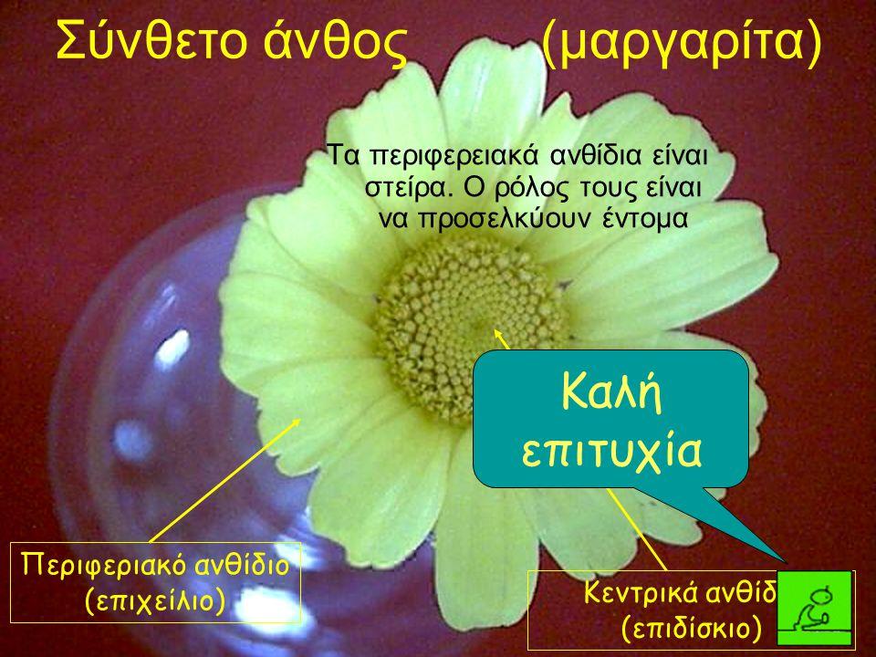 Σύνθετο άνθος (μαργαρίτα) Τα περιφερειακά ανθίδια είναι στείρα. Ο ρόλος τους είναι να προσελκύουν έντομα Περιφεριακό ανθίδιο (επιχείλιο) Κεντρικά ανθί