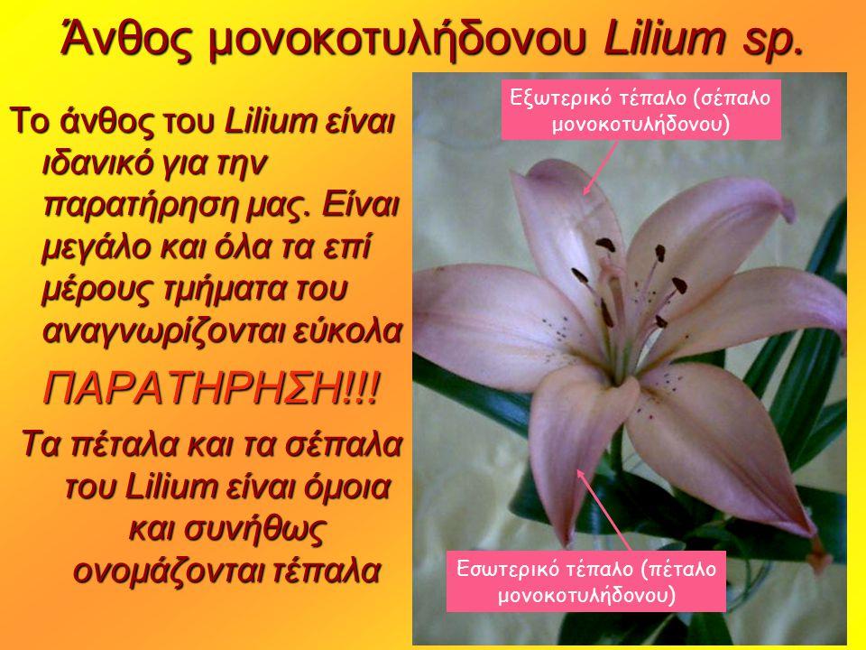 Άνθος μονοκοτυλήδονου Lilium sp. Το άνθος του Lilium είναι ιδανικό για την παρατήρηση μας. Είναι μεγάλο και όλα τα επί μέρους τμήματα του αναγνωρίζοντ