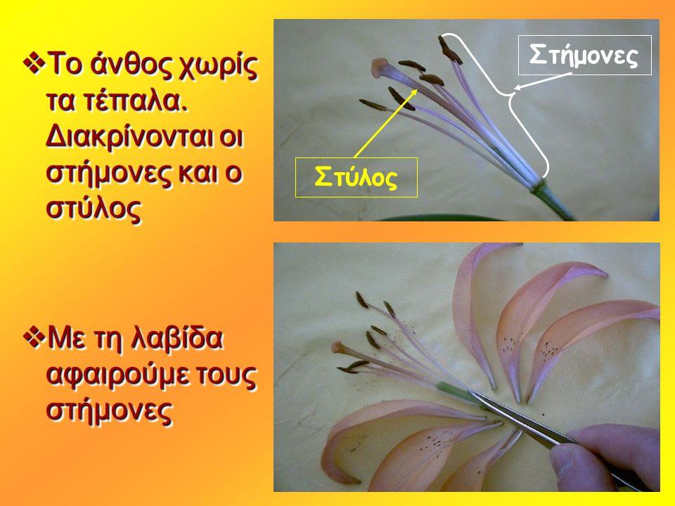  To άνθος χωρίς τα τέπαλα. Διακρίνονται οι στήμονες και ο στύλος  Με τη λαβίδα αφαιρούμε τους στήμονες  To άνθος χωρίς τα τέπαλα. Διακρίνονται οι σ