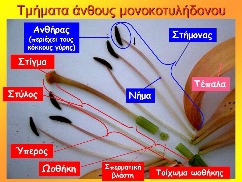 Τμήματα άνθους μονοκοτυλήδονου Στίγμα Τέπαλα Ανθήρας (περιέχει τους κόκκους γύρης) Νήμα Ύπερος Ωοθήκη Στύλος Στήμονας Σπερματική βλάστη Τοίχωμα ωοθήκη