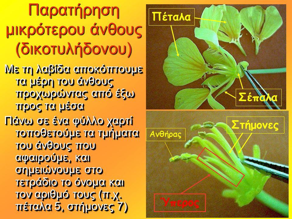 Παρατήρηση μικρότερου άνθους (δικοτυλήδονου) Με τη λαβίδα αποκόπτουμε τα μέρη του άνθους προχωρώντας από έξω προς τα μέσα Πάνω σε ένα φύλλο χαρτί τοπο