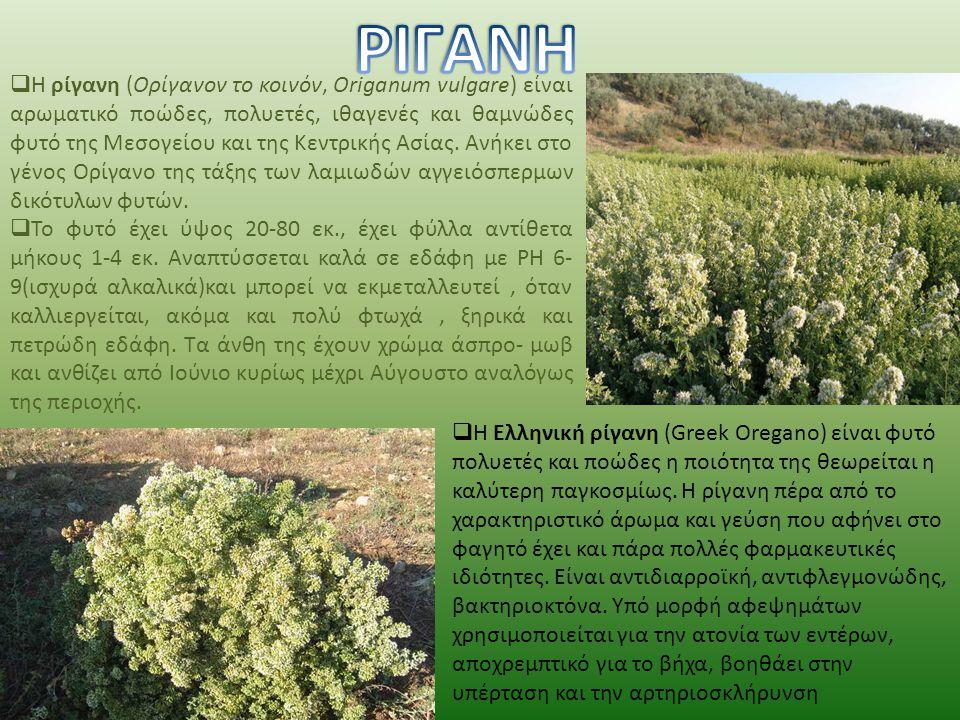  Ιδιότητες-χρήσεις: Είναι πολύ καλό μελισσοτροφικό φυτό. Χρησιμοποιείται στη βιομηχανία τροφίμων τόσο η ξηρή δρόγη όσο και το αιθέριο έλαιο για καλύτ