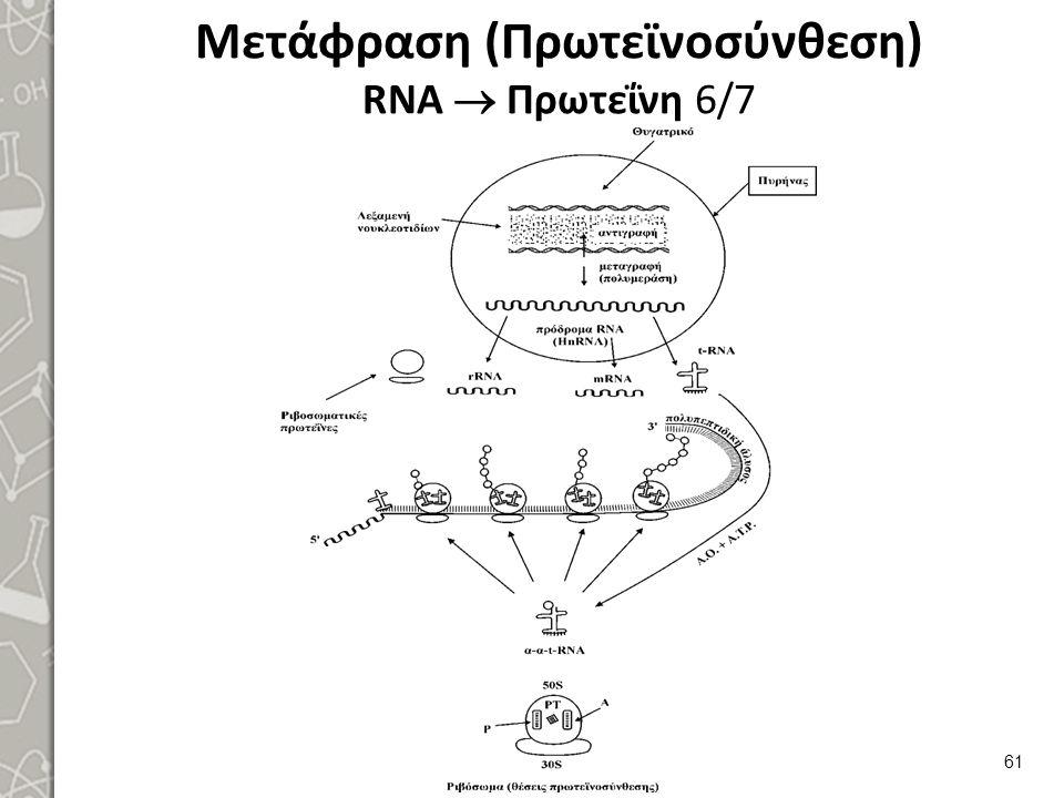 Μετάφραση (Πρωτεϊνοσύνθεση) RNA  Πρωτεΐνη 6/7 61