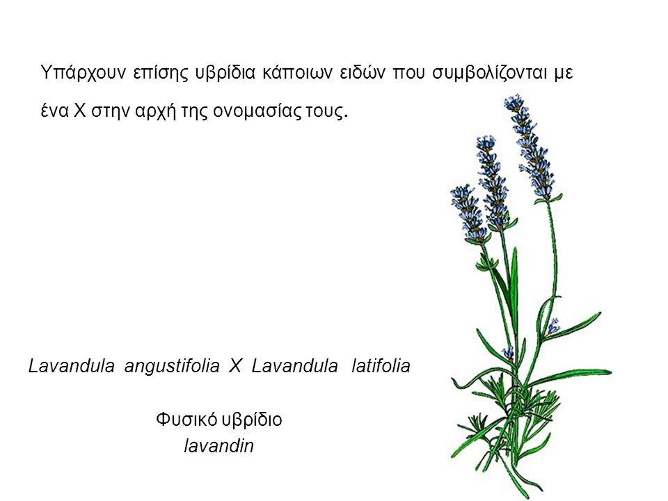 Yπάρχουν επίσης υβρίδια κάποιων ειδών που συμβολίζονται με ένα Χ στην αρχή της ονομασίας τους. Lavandula angustifolia X Lavandula latifolia Φυσικό υβρ