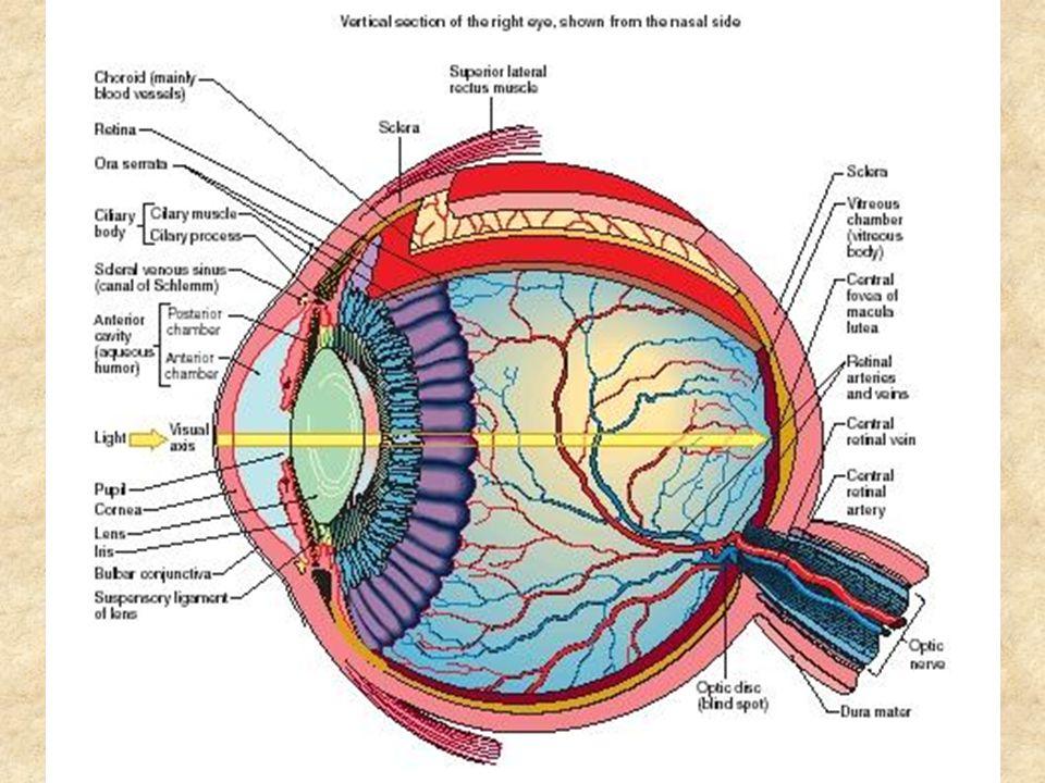 Τα φωτοευαίσθητα κύτταρα ΡαβδίαΚωνία Περίπου 120 εκατομμύρια σε κάθε μάτιΠερίπου 6-7 εκατομμύρια σε κάθε μάτι Χρήση σκοτοπικής όρασηςΧρήση φωτοπικής όρασης Μεγάλη ευαισθησία στο φωςΜικρότερη ευαισθησία στο φως Η έλλειψή τους προκαλεί νυχτερινή τύφλωση Η έλλειψή τους προκαλεί τύφλωση Μικρή οπτική οξυδέρκεια Μεγάλη οπτική οξυδέρκεια – Μεγαλύτερη χωρική ανάλυση Ανομοιόμορφα κατανεμημένα στον αμφιβληστροειδή Συγκεντρωμένα στην ωχρή κηλίδα Αργή ανταπόκριση στο φωςΓρήγορη ανταπόκριση στο φως Μπορούν να ανιχνεύσουν χαμηλότερα επίπεδα φωτισμού Χρειάζονται περισσότερο φως για να ανιχνεύσουν τις εικόνες Μόνο ένας τύπος κυττάρωνΥπάρχουν τρεις τύποι κυττάρων Ευθύνονται για την αχρωματική όρασηΕυθύνονται για την έγχρωμη όραση