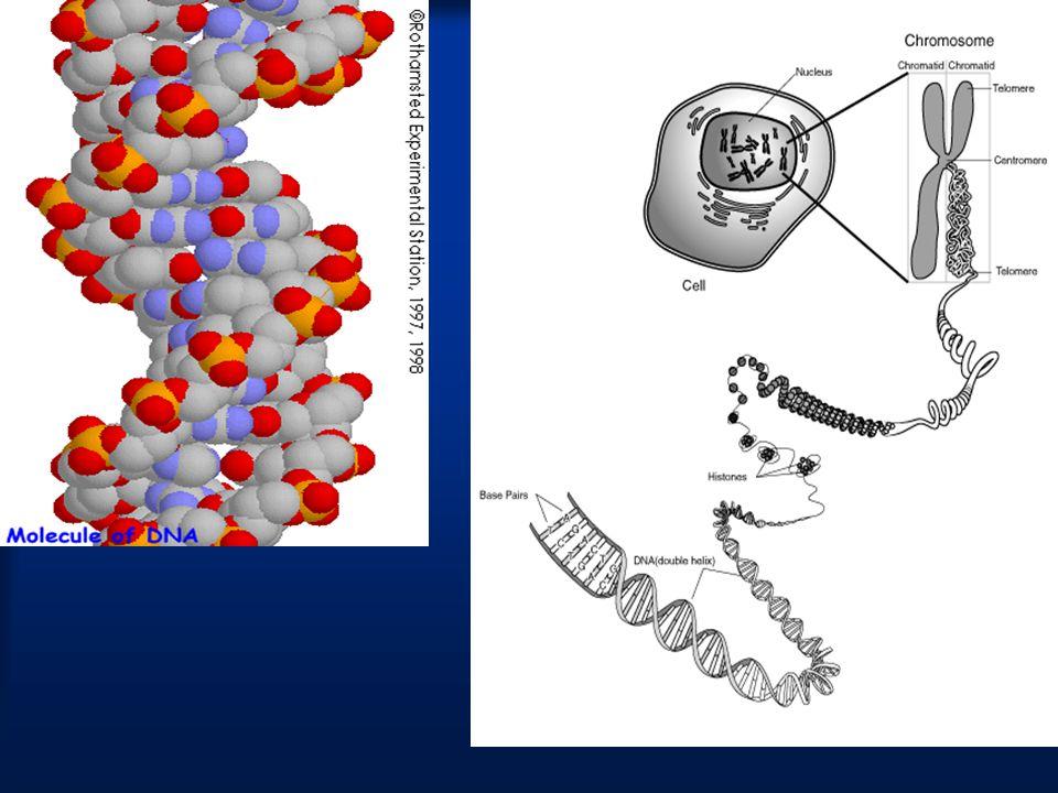 ΧΡΩΜΟΣΩΜΑΤΑ Τα χρωμοσώματα είναι η μορφή που παίρνει η χρωματίνη όταν το κύτταρο ετοιμάζεται να διαιρεθεί.