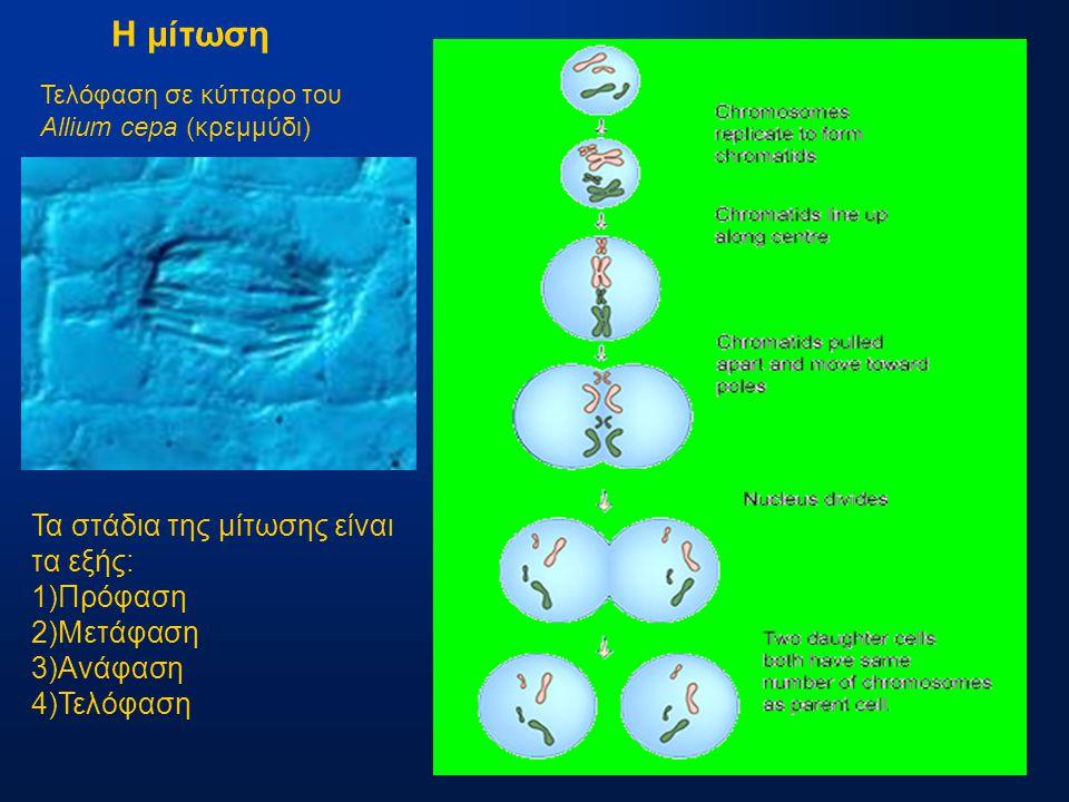 Η μίτωση Τα στάδια της μίτωσης είναι τα εξής: 1)Πρόφαση 2)Μετάφαση 3)Ανάφαση 4)Τελόφαση Τελόφαση σε κύτταρο του Allium cepa (κρεμμύδι)