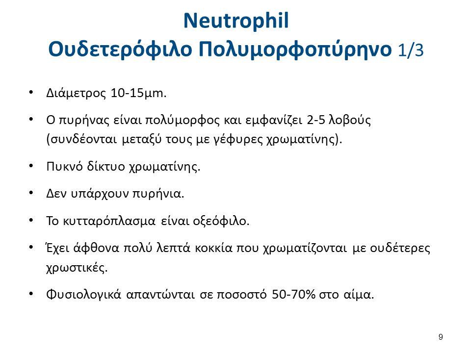 Neutrophil Ουδετερόφιλο Πολυμορφοπύρηνο 1/3 Διάμετρος 10-15μm. Ο πυρήνας είναι πολύμορφος και εμφανίζει 2-5 λοβούς (συνδέονται μεταξύ τους με γέφυρες
