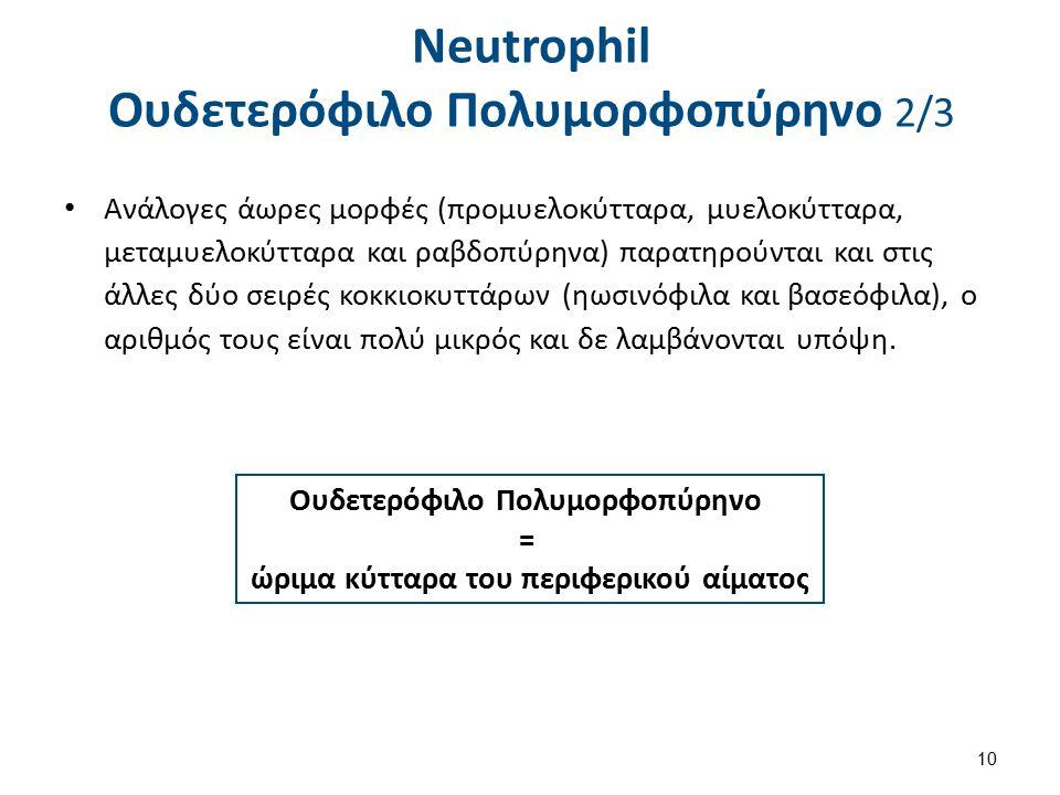 Neutrophil Ουδετερόφιλο Πολυμορφοπύρηνο 2/3 Ανάλογες άωρες μορφές (προμυελοκύτταρα, μυελοκύτταρα, μεταμυελοκύτταρα και ραβδοπύρηνα) παρατηρούνται και