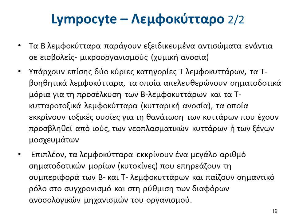 Lympocyte – Λεμφοκύτταρο 2/2 Τα Β λεμφοκύτταρα παράγουν εξειδικευμένα αντισώματα ενάντια σε εισβολείς- μικροοργανισμούς (χυμική ανοσία) Υπάρχουν επίση