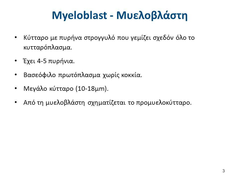 Myeloblast - Μυελοβλάστη Κύτταρο με πυρήνα στρογγυλό που γεμίζει σχεδόν όλο το κυτταρόπλασμα. Έχει 4-5 πυρήνια. Βασεόφιλο πρωτόπλασμα χωρίς κοκκία. Με