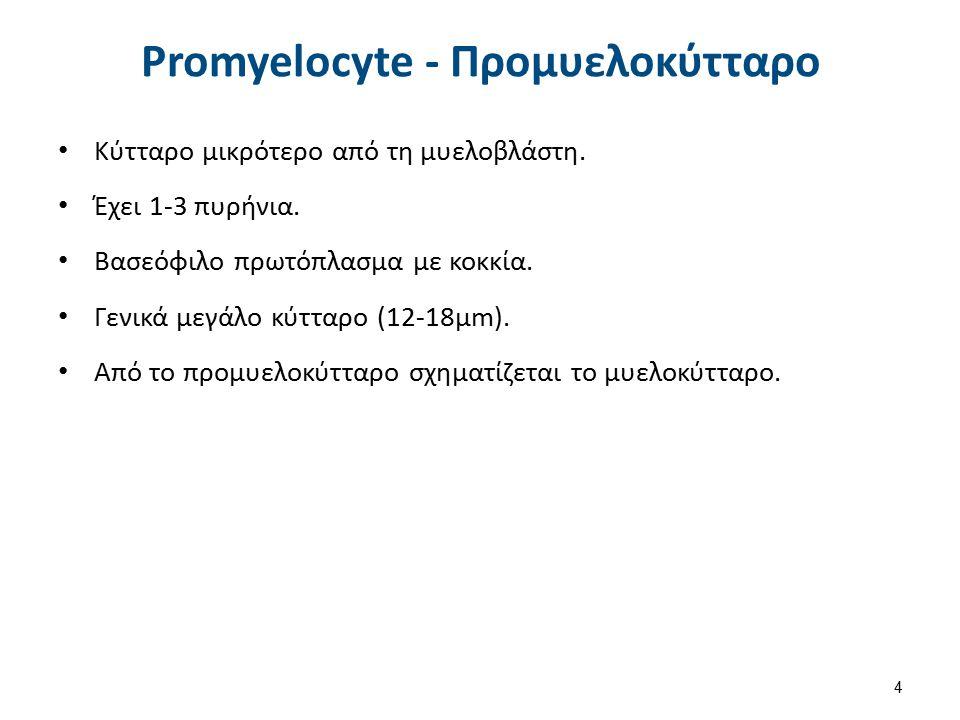Promyelocyte - Προμυελοκύτταρο Κύτταρο μικρότερο από τη μυελοβλάστη. Έχει 1-3 πυρήνια. Βασεόφιλο πρωτόπλασμα με κοκκία. Γενικά μεγάλο κύτταρο (12-18μm