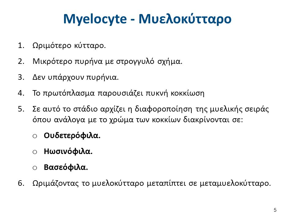 Myelocyte - Μυελοκύτταρο 1.Ωριμότερο κύτταρο. 2.Μικρότερο πυρήνα με στρογγυλό σχήμα. 3.Δεν υπάρχουν πυρήνια. 4.Το πρωτόπλασμα παρουσιάζει πυκνή κοκκίω