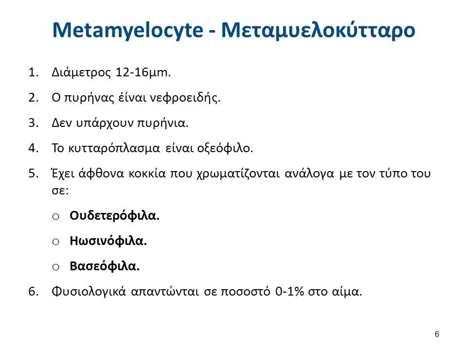 Metamyelocyte - Μεταμυελοκύτταρο 1.Διάμετρος 12-16μm. 2.Ο πυρήνας έίναι νεφροειδής. 3.Δεν υπάρχουν πυρήνια. 4.Το κυτταρόπλασμα είναι οξεόφιλο. 5.Έχει