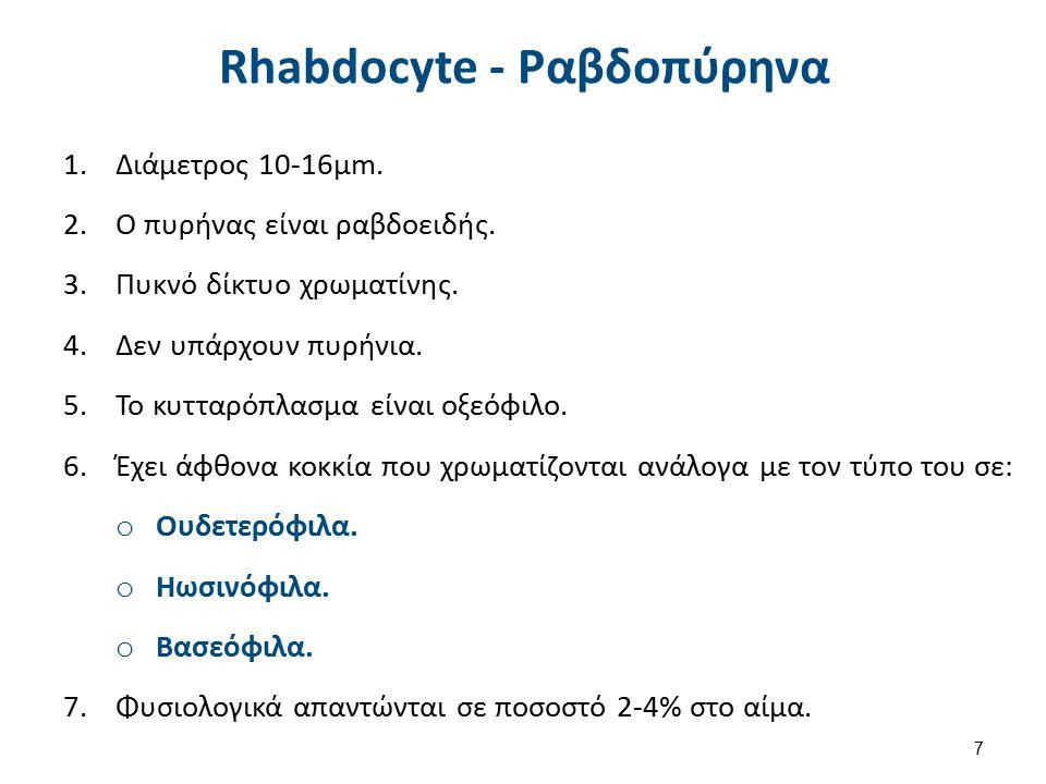 Rhabdocyte - Ραβδοπύρηνα 1.Διάμετρος 10-16μm. 2.Ο πυρήνας είναι ραβδοειδής. 3.Πυκνό δίκτυο χρωματίνης. 4.Δεν υπάρχουν πυρήνια. 5.Το κυτταρόπλασμα είνα