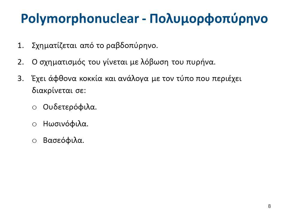 Polymorphonuclear - Πολυμορφοπύρηνο 1.Σχηματίζεται από το ραβδοπύρηνο. 2.Ο σχηματισμός του γίνεται με λόβωση του πυρήνα. 3.Έχει άφθονα κοκκία και ανάλ