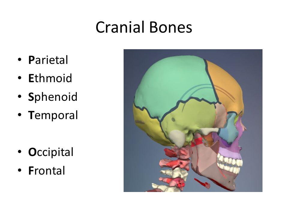 Cranial Bones Parietal Ethmoid Sphenoid Temporal Occipital Frontal