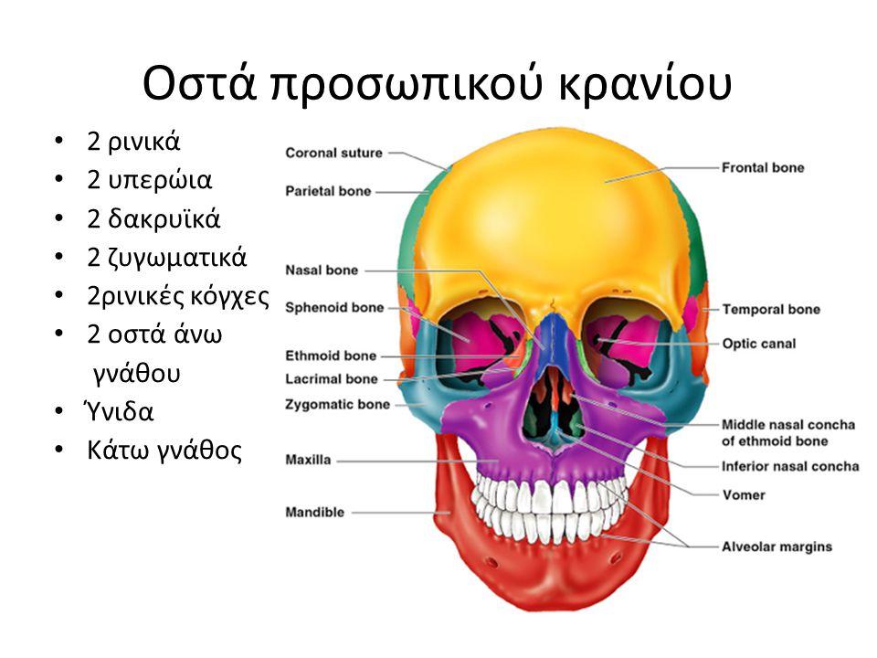 Οστά προσωπικού κρανίου 2 ρινικά 2 υπερώια 2 δακρυϊκά 2 ζυγωματικά 2ρινικές κόγχες 2 οστά άνω γνάθου Ύνιδα Κάτω γνάθος