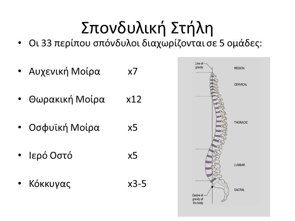 Σπονδυλική Στήλη Οι 33 περίπου σπόνδυλοι διαχωρίζονται σε 5 ομάδες: Αυχενική Μοίρα x7 Θωρακική Μοίρα x12 Οσφυϊκή Μοίρα x5 Ιερό Οστό x5 Κόκκυγας x3-5