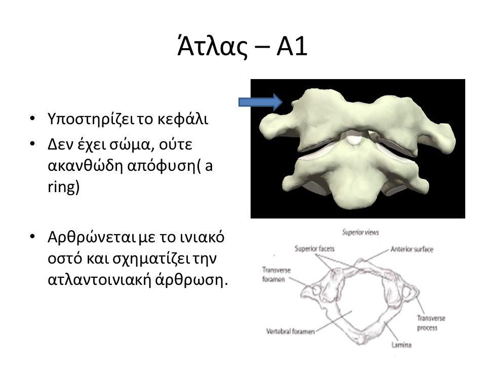 Άτλας – Α1 Υποστηρίζει το κεφάλι Δεν έχει σώμα, ούτε ακανθώδη απόφυση( a ring) Αρθρώνεται με το ινιακό οστό και σχηματίζει την ατλαντοινιακή άρθρωση.