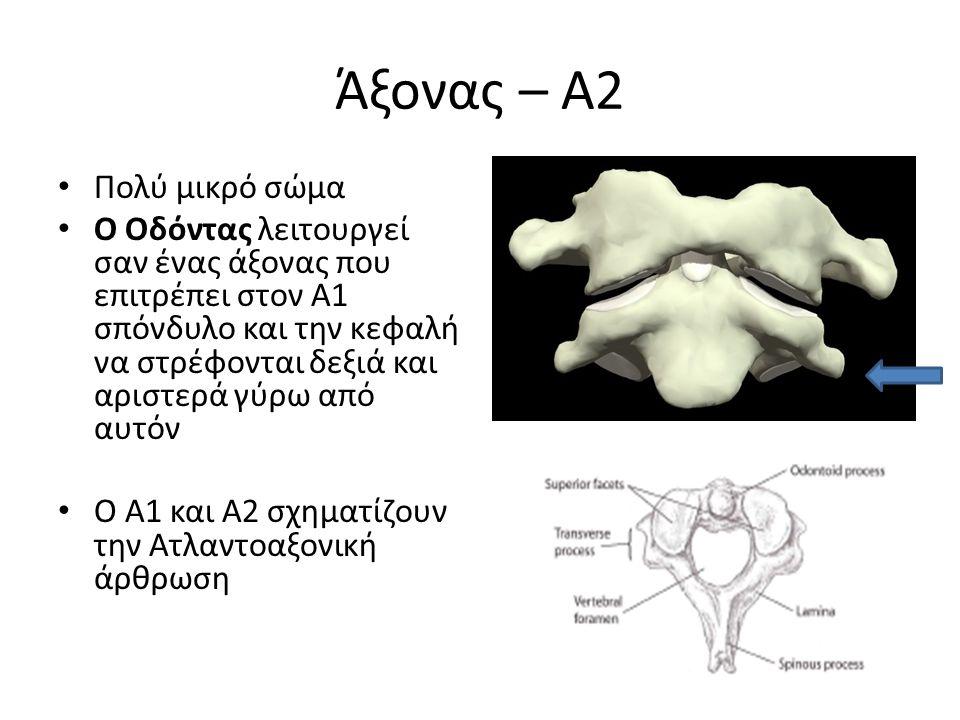 Άξονας – Α2 Πολύ μικρό σώμα Ο Οδόντας λειτουργεί σαν ένας άξονας που επιτρέπει στον Α1 σπόνδυλο και την κεφαλή να στρέφονται δεξιά και αριστερά γύρω α