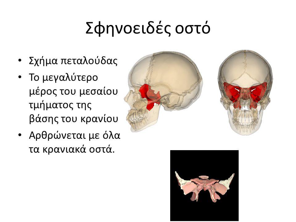 Σφηνοειδές οστό Σχήμα πεταλούδας Το μεγαλύτερο μέρος του μεσαίου τμήματος της βάσης του κρανίου Αρθρώνεται με όλα τα κρανιακά οστά.