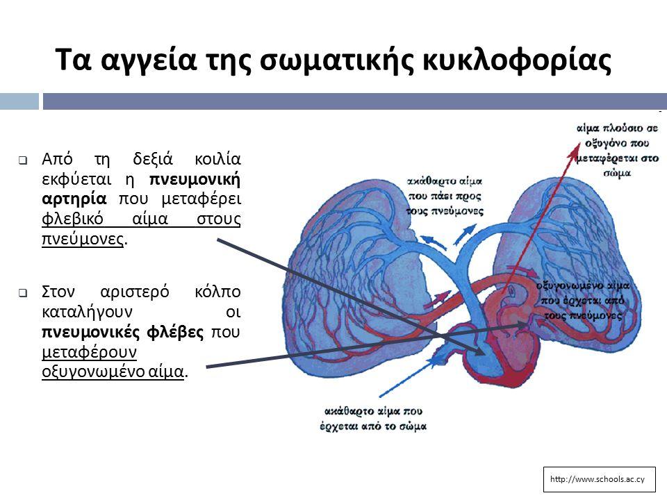  Από τη δεξιά κοιλία εκφύεται η πνευμονική αρτηρία που μεταφέρει φλεβικό αίμα στους πνεύμονες.  Στον αριστερό κόλπο καταλήγουν οι πνευμονικές φλέβες