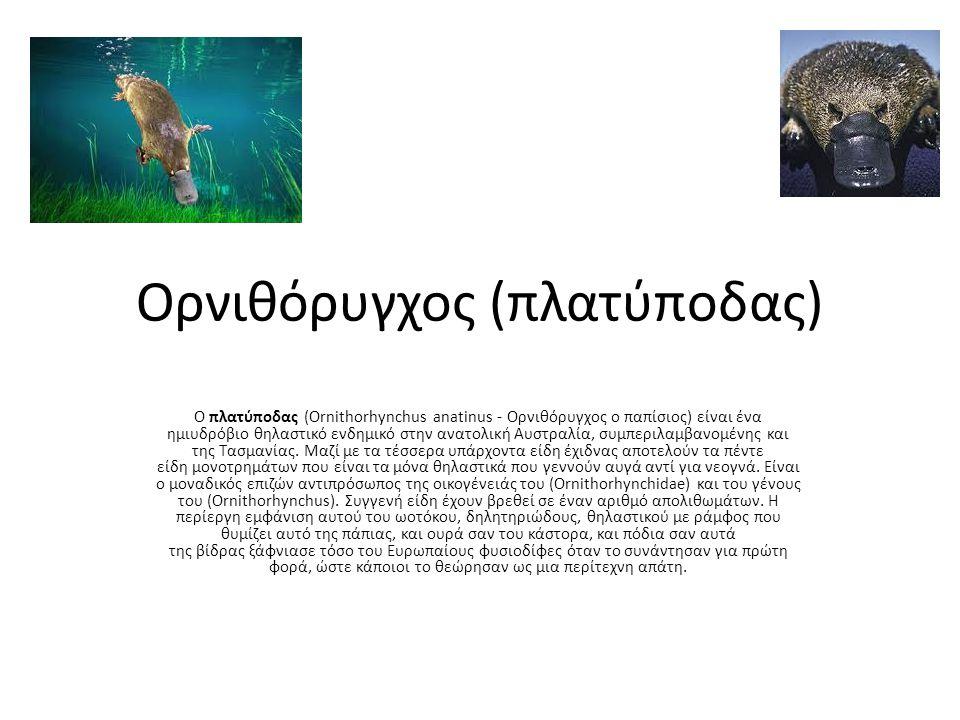 Ορνιθόρυγχος (πλατύποδας) Ο πλατύποδας (Ornithorhynchus anatinus - Ορνιθόρυγχος ο παπίσιος) είναι ένα ημιυδρόβιο θηλαστικό ενδημικό στην ανατολική Αυστραλία, συμπεριλαμβανομένης και της Τασμανίας.