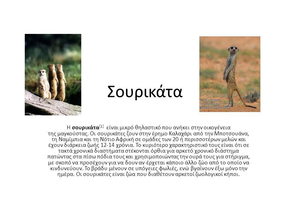 Σουρικάτα Η σουρικάτα [1] είναι μικρό θηλαστικό που ανήκει στην οικογένεια της μαγκούστας.
