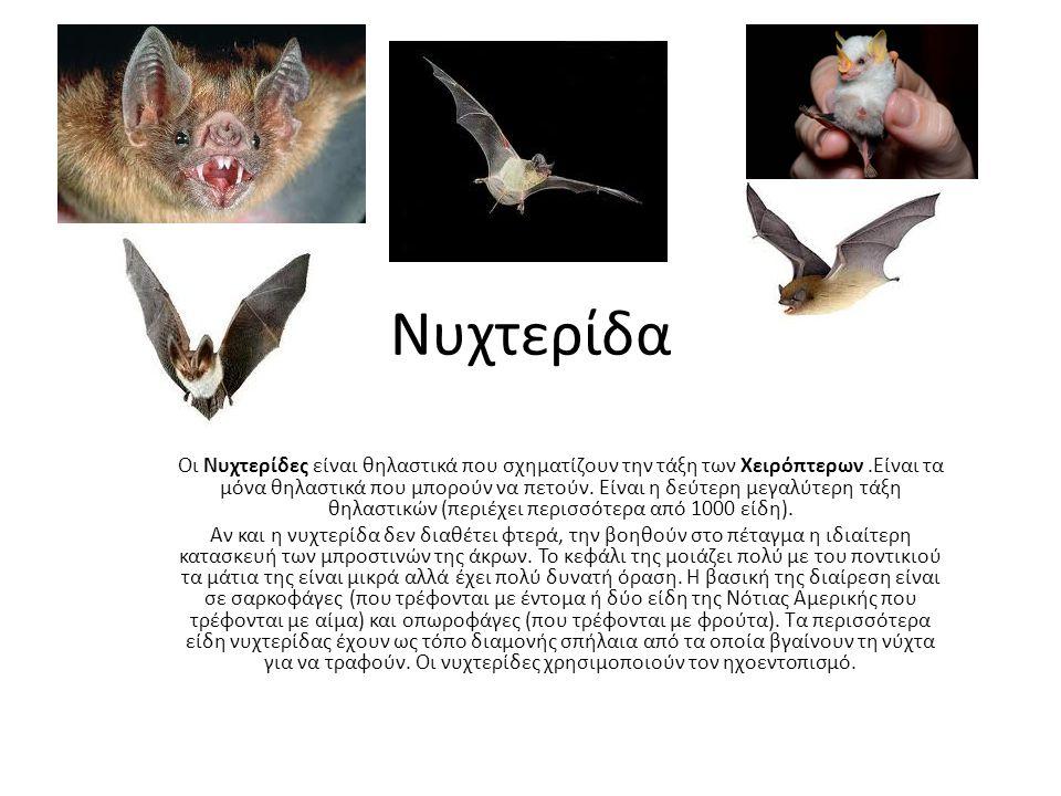 Νυχτερίδα Οι Νυχτερίδες είναι θηλαστικά που σχηματίζουν την τάξη των Χειρόπτερων.Είναι τα μόνα θηλαστικά που μπορούν να πετούν.