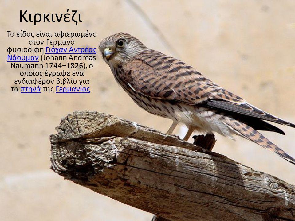 Kιρκινέζι Το είδος είναι αφιερωμένο στον Γερμανό φυσιοδίφη Γιόχαν Αντρέας Νάουμαν (Johann Andreas Naumann 1744–1826), ο οποίος έγραψε ένα ενδιαφέρον β