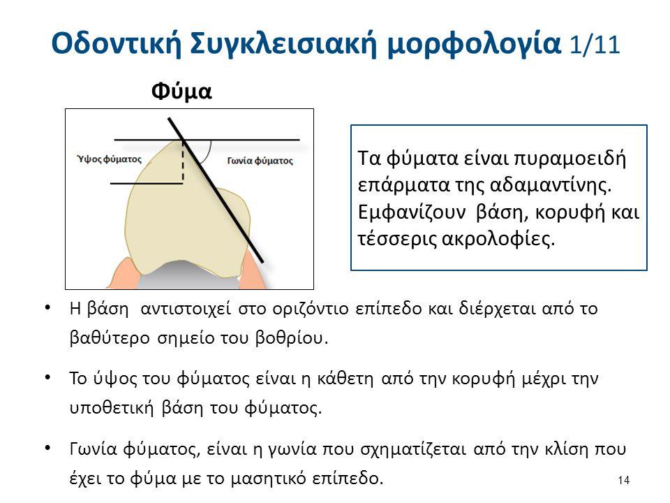 Οδοντική Συγκλεισιακή μορφολογία 1/11 14 Τα φύματα είναι πυραμοειδή επάρματα της αδαμαντίνης. Εμφανίζουν βάση, κορυφή και τέσσερις ακρολοφίες. Η βάση